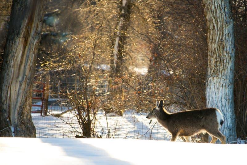 与雪鹿的冬天金黄小时 库存图片