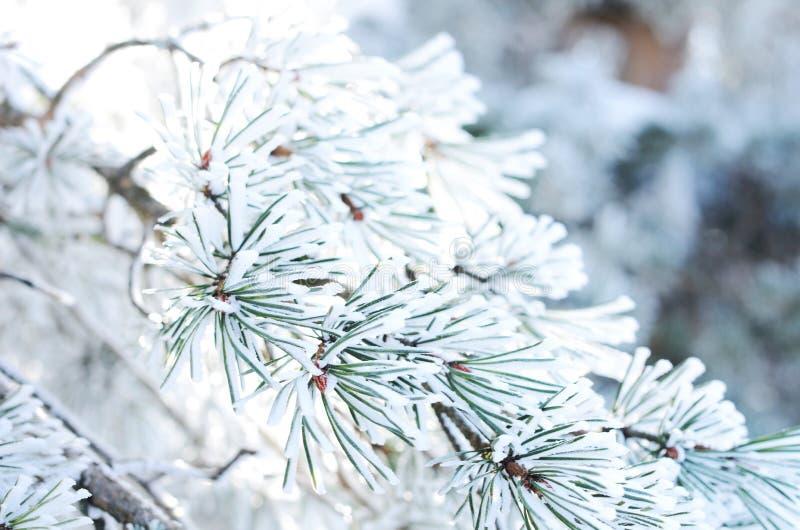 与雪,冬天背景的杉树分支 免版税库存照片