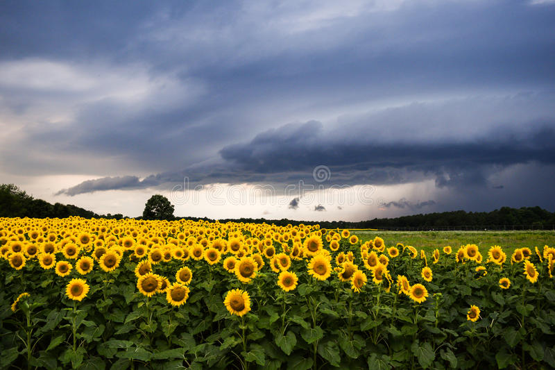 与雷暴的向日葵 免版税库存图片