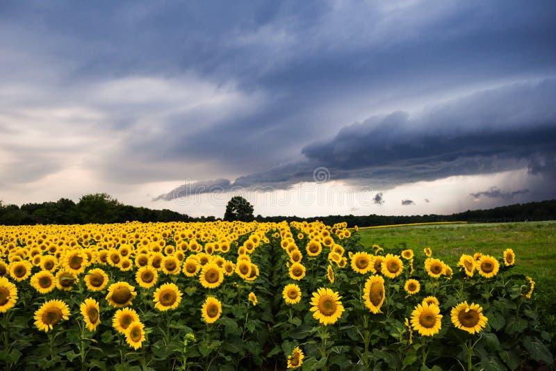 与雷暴的向日葵 库存图片