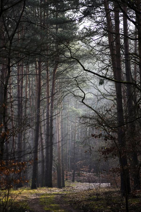与雾和太阳的一个神奇森林风景发出光线击穿 库存照片