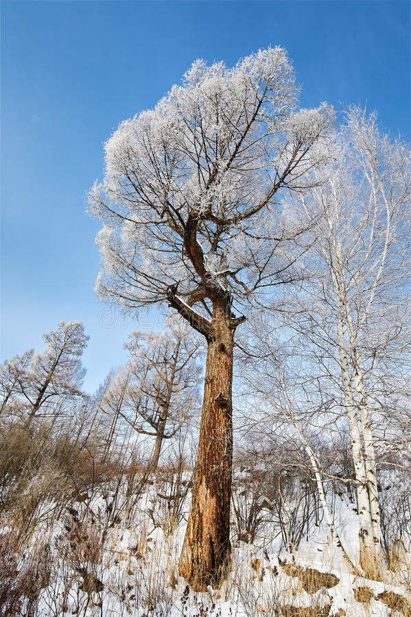 与霜的两棵亲切的树 免版税库存图片