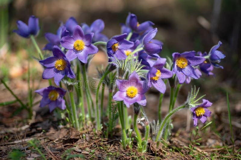 与露水下落的帕凯或银莲花属花在晴朗的春天森林 库存图片