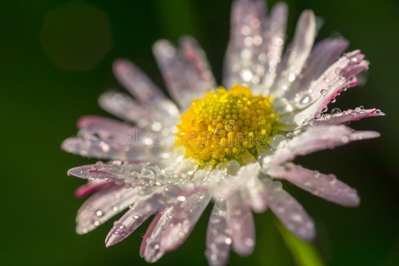 与露水下落的雏菊花  免版税图库摄影