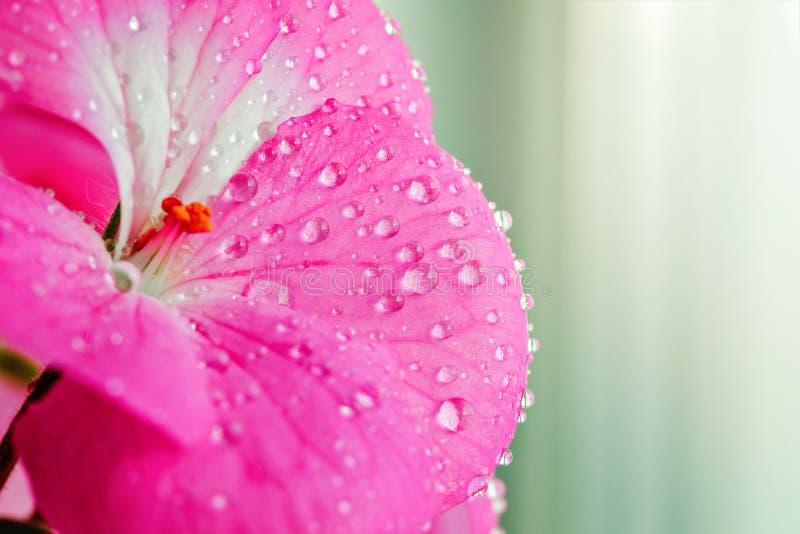 与露水或水滴的桃红色大竺葵花在瓣 室内植物特写镜头轻的背景的 免版税库存图片