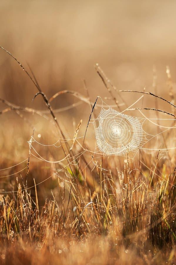 与露水的意想不到的蜘蛛网在冬天早晨、金黄日出发光在蜘蛛网的和野草,被弄脏的领域背景 库存照片