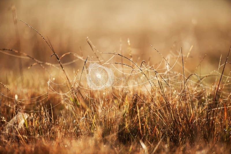 与露水的意想不到的蜘蛛网在冬天早晨、金黄日出发光在蜘蛛网的和野草,被弄脏的领域背景 图库摄影