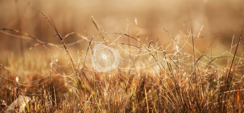 与露水的意想不到的蜘蛛网在冬天早晨、金黄日出发光在蜘蛛网的和野草,被弄脏的领域背景 免版税库存图片