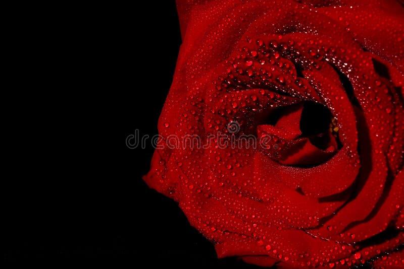 与露水的红色玫瑰 库存图片
