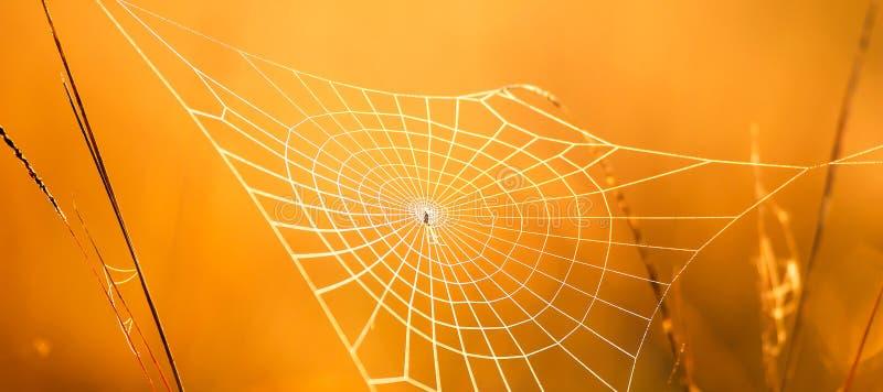 与露水的美丽的蜘蛛网在冬天早晨、金黄日出发光在蜘蛛网的和野草 免版税图库摄影