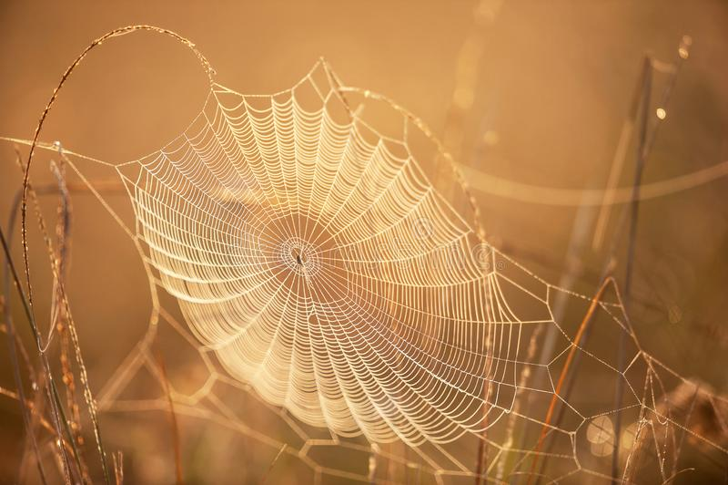 与露水的美丽的蜘蛛网在冬天早晨,闪烁金黄的日出发光在蜘蛛网和野草,明亮透明和 图库摄影