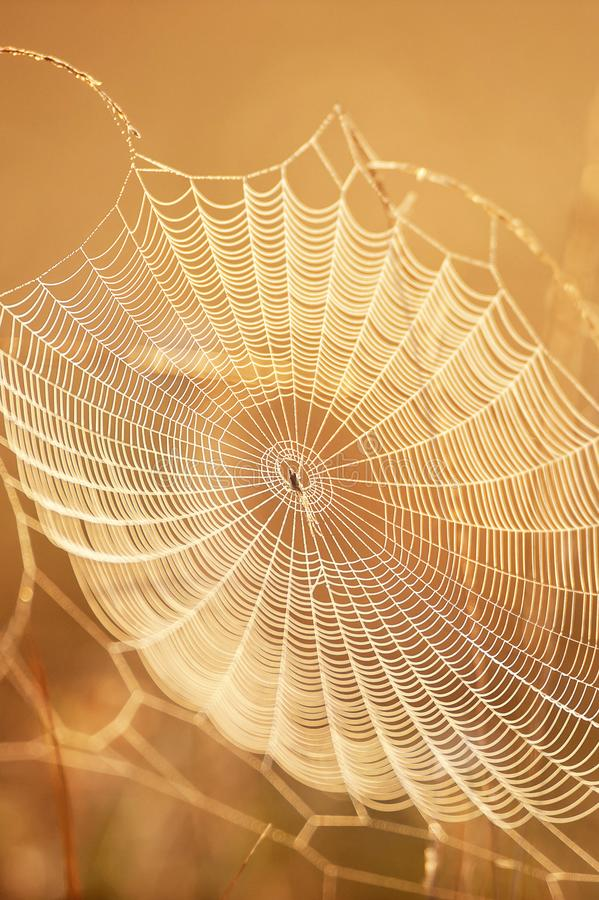 与露水的美丽的蜘蛛网在冬天早晨,闪烁金黄的日出发光在蜘蛛网和野草,明亮透明和 库存照片