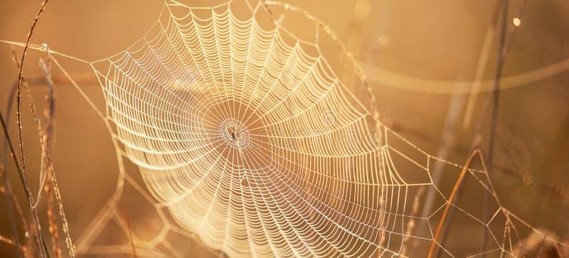 与露水的美丽的蜘蛛网在冬天早晨,闪烁金黄的日出发光在蜘蛛网和野草,明亮透明和 免版税图库摄影