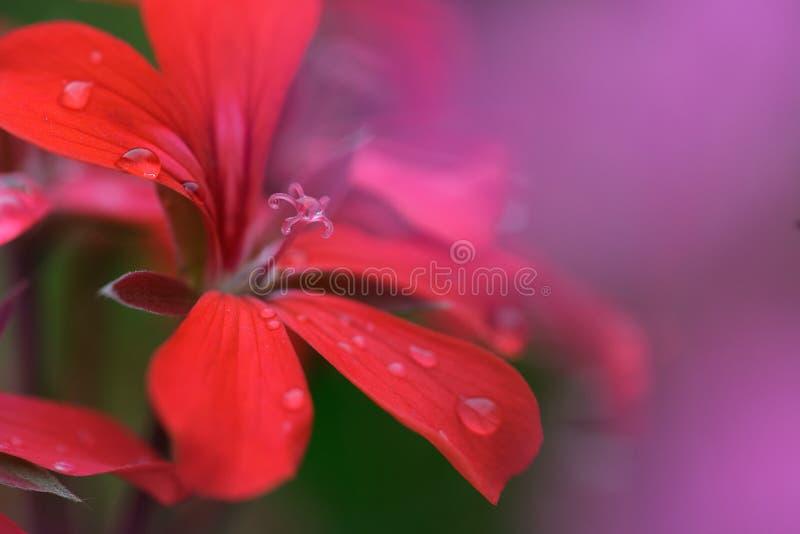 与露水的Pelarginium花 库存照片