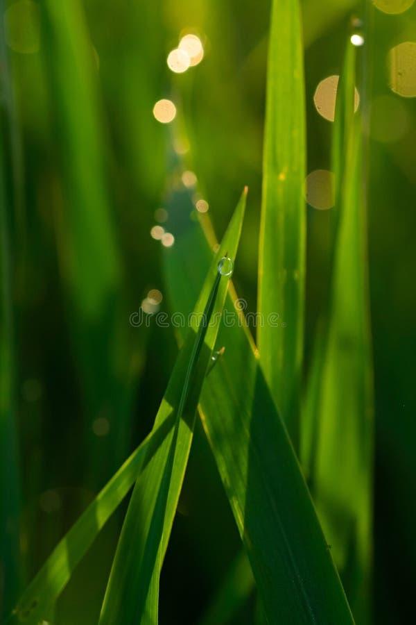 与露滴的绿草在被弄脏的背景的日出特写镜头 免版税库存照片