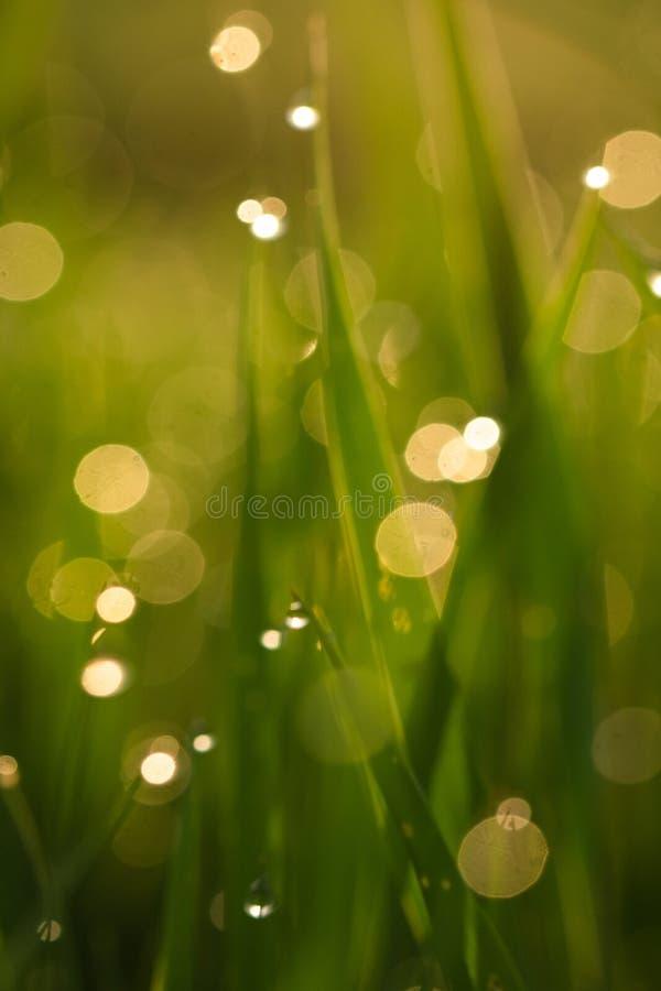 与露滴的绿草在被弄脏的背景的日出特写镜头 图库摄影