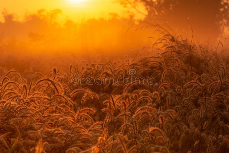 与露滴的草花在日出的早晨与美好的金黄阳光 在农村的花田 橙色草甸 免版税图库摄影