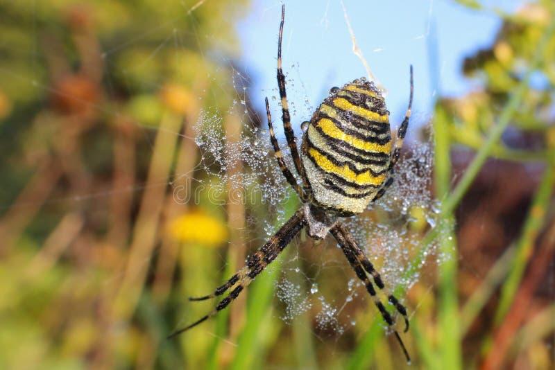 与露滴的黄蜂蜘蛛 库存图片