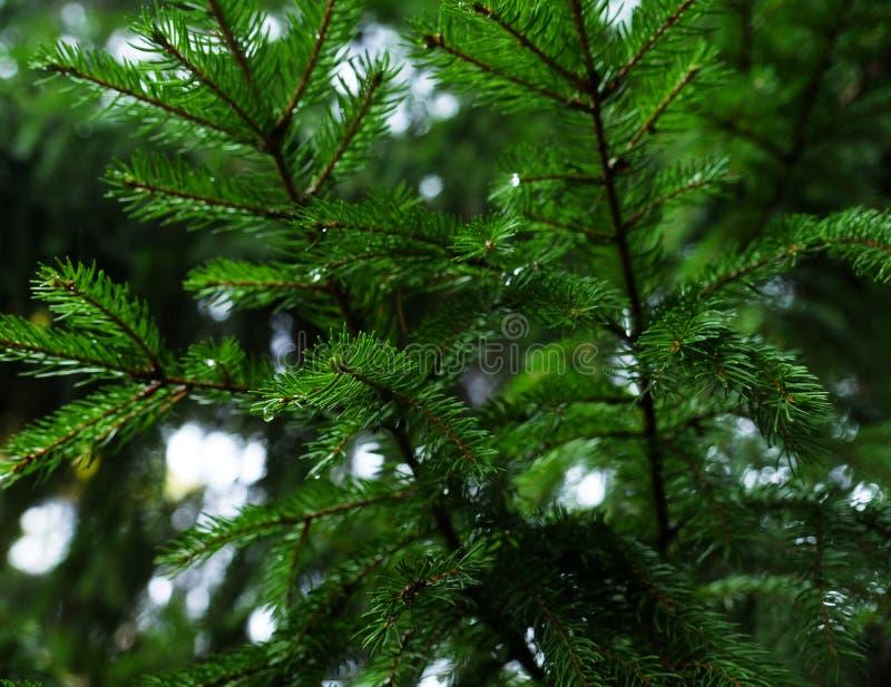 与露珠的杉木针在早晨 库存照片