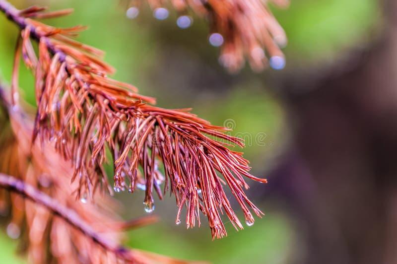 与露珠的杉木针 库存照片