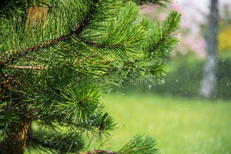 与露珠的绿色杉木针在早晨 免版税库存照片