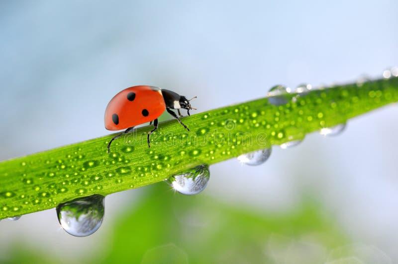 与露滴的新鲜的绿色春天草和瓢虫 免版税库存图片