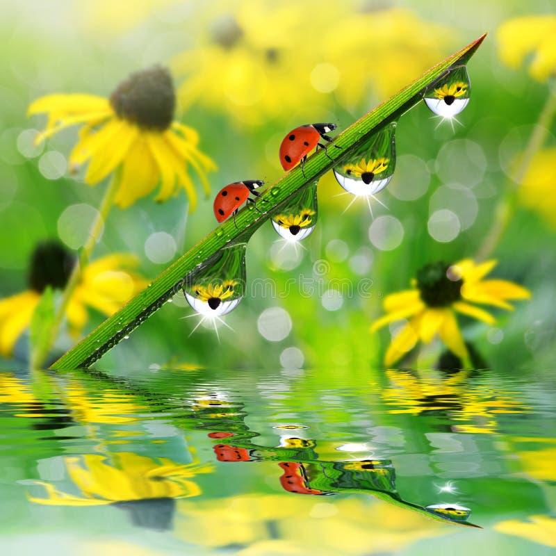 与露滴的新鲜的绿草和瓢虫 免版税库存照片