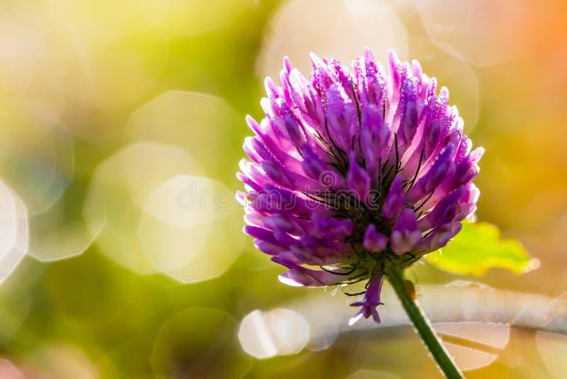 与露滴的紫色三叶草花在早晨光 图库摄影