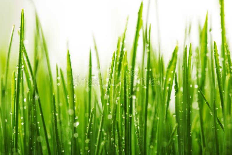 与露水的绿色湿草在刀片 免版税库存照片