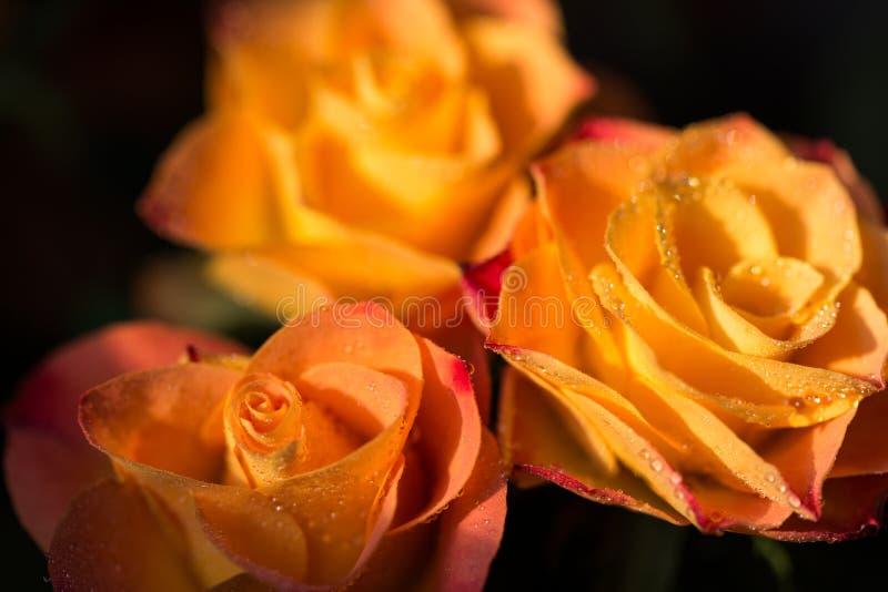 与露水,关闭的三朵玫瑰色花 免版税库存照片