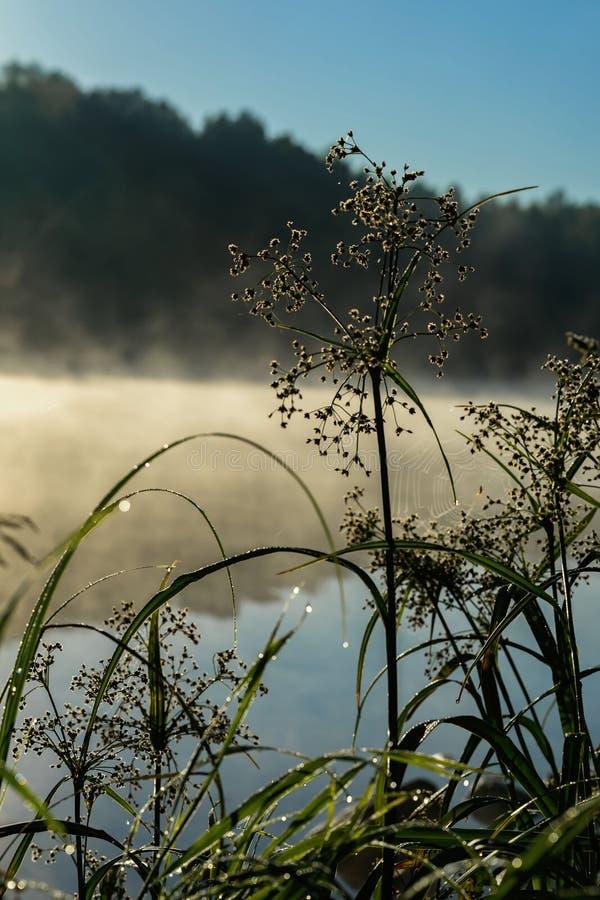 与露水,在湖的安静的清早的野草,黎明,太阳的第一光芒 季节的概念,环境 免版税库存照片