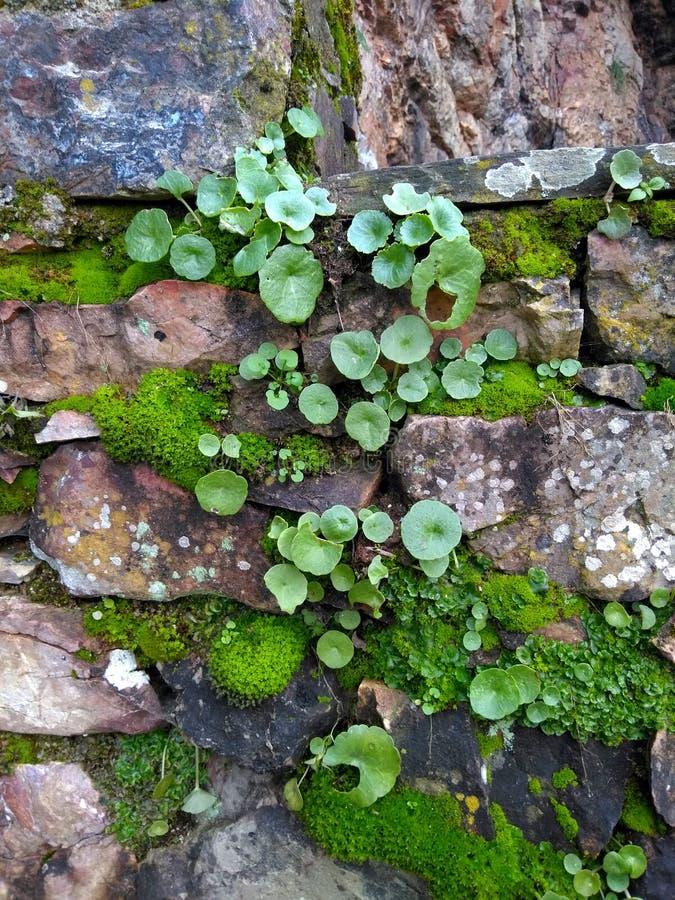 与青苔和叶子的岩石 图库摄影