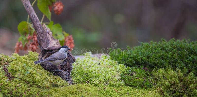 与青苔和地衣的沼泽山雀 库存图片