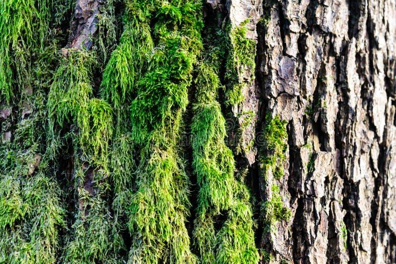 与青苔和地衣细节的树皮纹理在木篱芭 库存图片