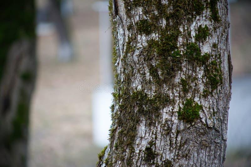 与青苔在根在一个绿色森林里或青苔的树在树干 与绿色青苔的树皮 阿塞拜疆自然 图库摄影