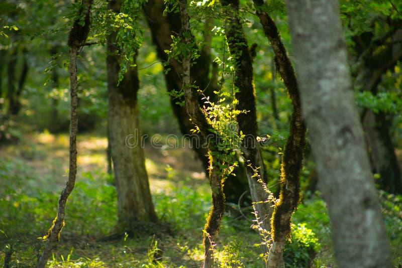 与青苔在根在一个绿色森林里或青苔的树在树干 与绿色青苔的树皮 阿塞拜疆自然 库存照片