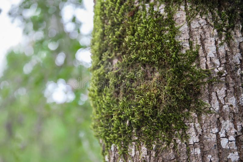 与青苔在根在一个绿色森林里或青苔的树在树干 与绿色青苔的树皮 阿塞拜疆自然 免版税库存图片