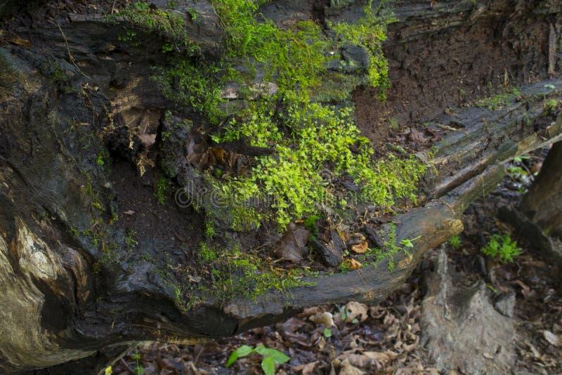 与青苔的下落的树细节 免版税图库摄影
