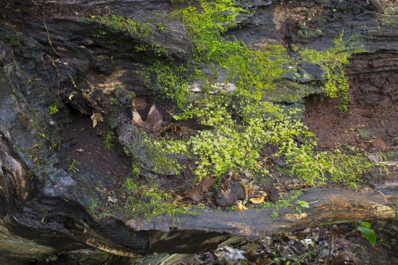 与青苔的下落的树细节 免版税库存照片
