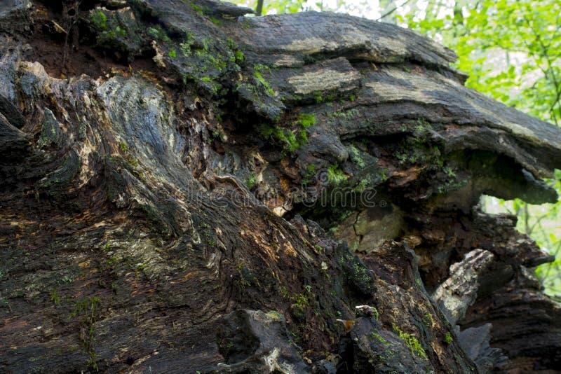 与青苔的下落的树细节 库存图片