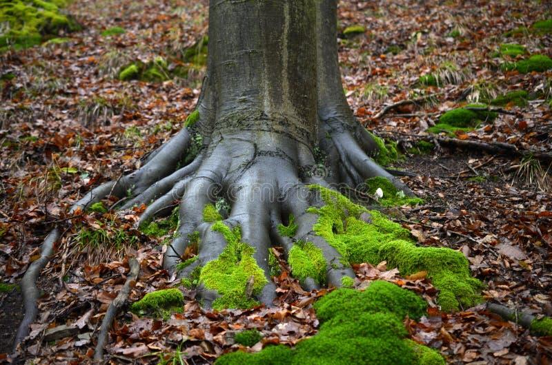 与青苔的根在秋天 免版税库存图片