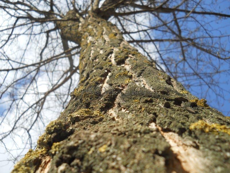 与青苔的结构树 图库摄影