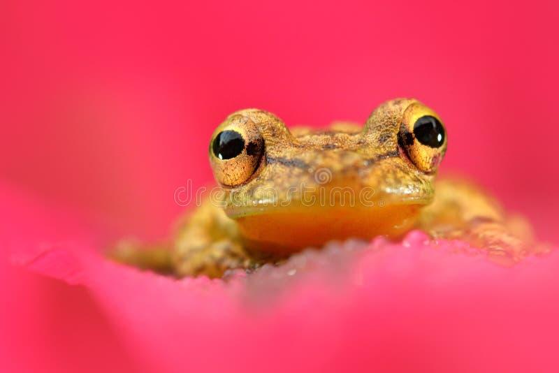 与青蛙的桃红色花 热带青蛙Stauffers Treefrog, Scinax staufferi,坐桃红色叶子 在自然回归线的青蛙为 库存图片