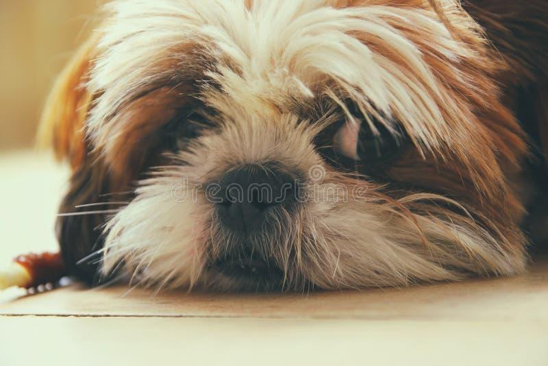 ?? 与非常哀伤的眼睛的可爱的shi tzu狗 免版税库存照片