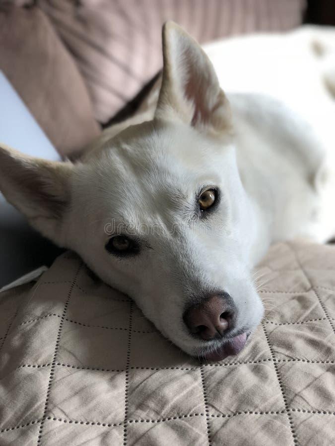 与非常突出的舌头的疲乏的狗! 库存图片