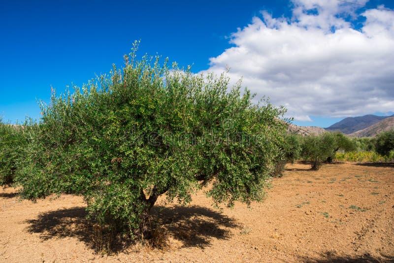 与非常绿橄榄好生产力,克利特,希腊的橄榄树 库存图片