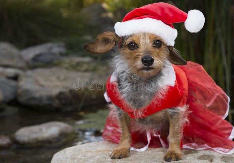 与鞋带礼服和圣诞老人帽子的殷勤小混杂的品种狗 免版税库存图片