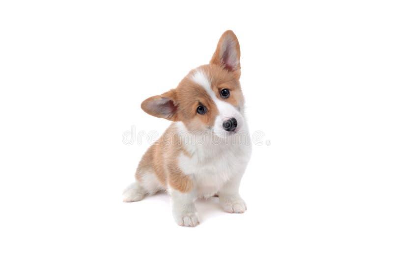 与顶头掀动的逗人喜爱的小狗小狗面孔 图库摄影
