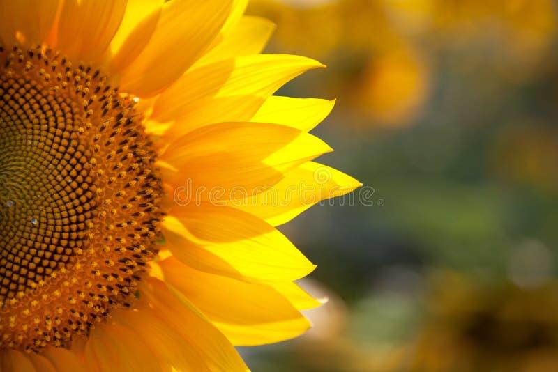 与真正的美好的bokeh的宏观向日葵背景 免版税库存照片