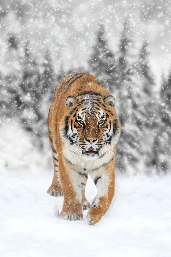 与颜色老虎的黑白摄影 免版税库存照片